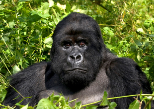Meet the Animals 2: Mountain Gorilla