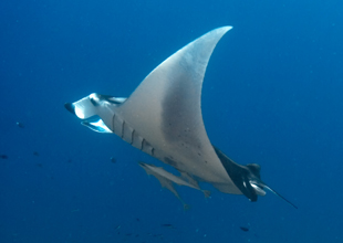 Meet the Animals 10: Manta Ray