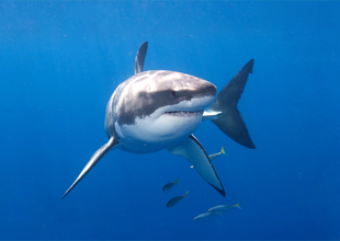 Meet the Animals 1: Great White Shark
