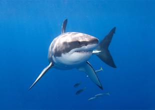 Meet the Animals 1: Great White Shark