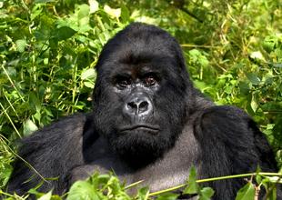 Meet the Animals 2: Mountain Gorilla