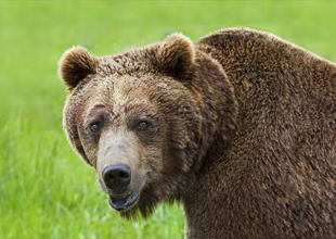 Meet the Animals 5: Grizzly Bear
