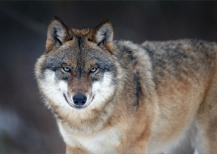 Meet the Animals 6: Gray Wolf