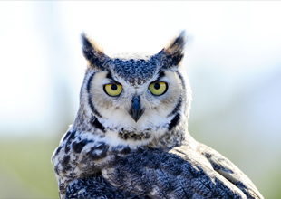 Meet the Animals 7: Great Horned Owl