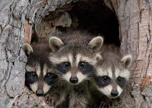 Meet the Animals 12: Raccoon