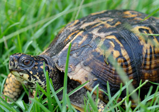Meet the Animals 20: Eastern Box Turtle